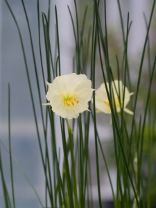 spring narcissus in bloom