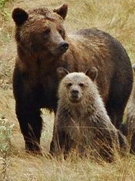 Grizzly Bear and two cubs, Knight Inlet, British Columbia, Canada