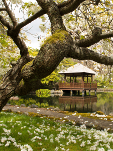Cherry blossoms on a large tree in front of a garden path