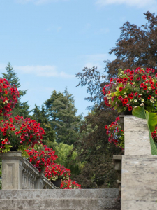 Red flowers in pots on stone wall