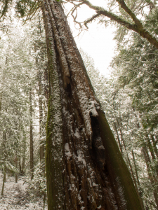 snow on trees in forest