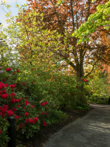 Red flowers on a low shrub and deciduous trees with a stone wall in the background