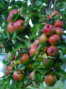 Correct pruning for fruit development