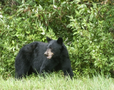 Black Bear by Jason Ahrns CC licence BY-NC-SA 2.0
