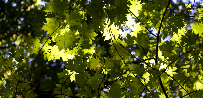 green leaves with sunlight filtering through