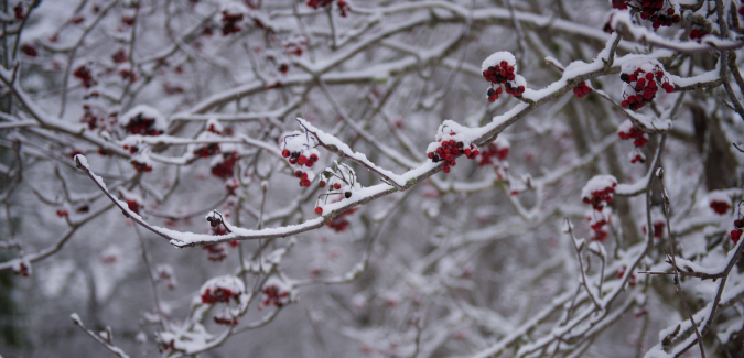 Snow covered tree branches with red berries