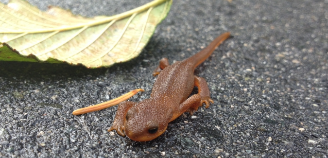 Rough-skinned Newt crossing road at RRU