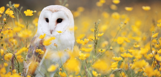 Owl in yellow flowers